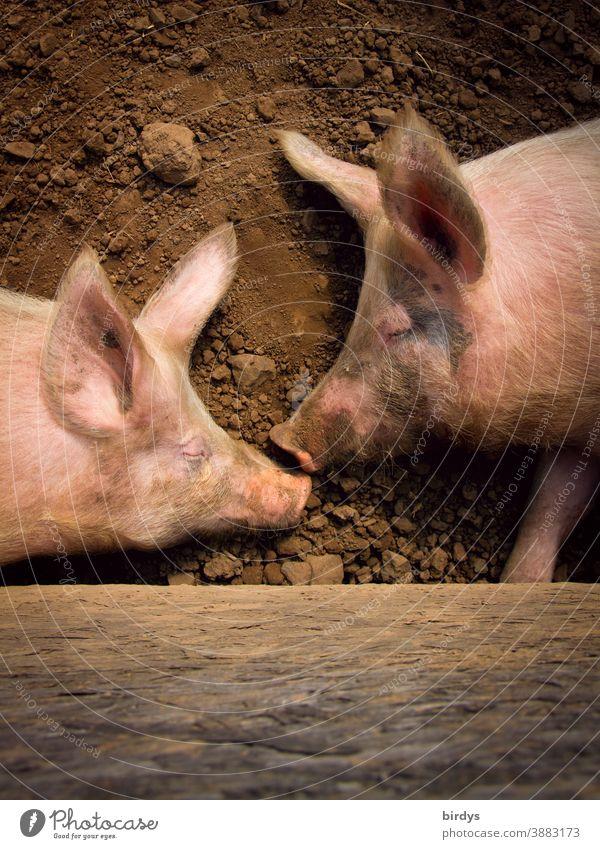 Zwei Hausschweine schlafen auf der Erde. Freilandschweine, Freilandhaltung in der Landwirtschaft, Schweinehaltung Biologische Landwirtschaft artgerecht