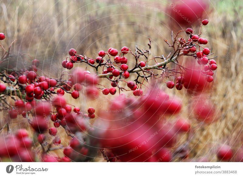 rote Beeren Sträucher Winterbeeren Beerensträucher Vogelbeere Weissdorn Feldflora Vogelbeeren Vegetation natürlich Natur Pflanze Naturliebe Gedeckte Farben
