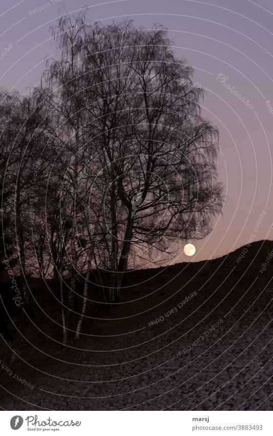 Vollmond-Aufgang hinter Birken. Winter Vollmondnacht Blaue Stunde Dämmerung Himmel Abend Natur Bäume Hügel düster mystisch Mond
