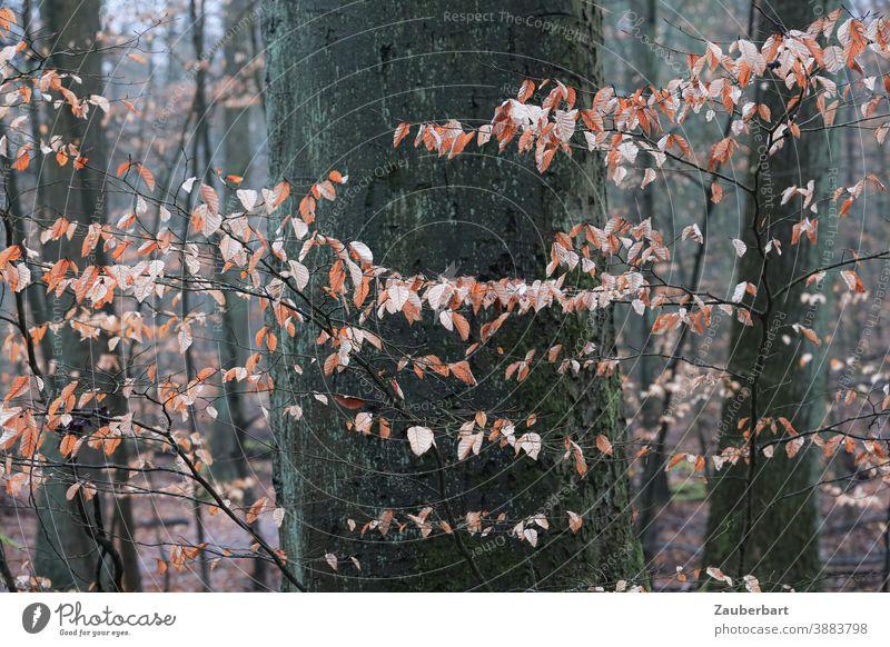Herbstliche Blätter als Girlande vor Baumstamm Winter braun hellbraun kühl Natur Holz Wald Baumrinde