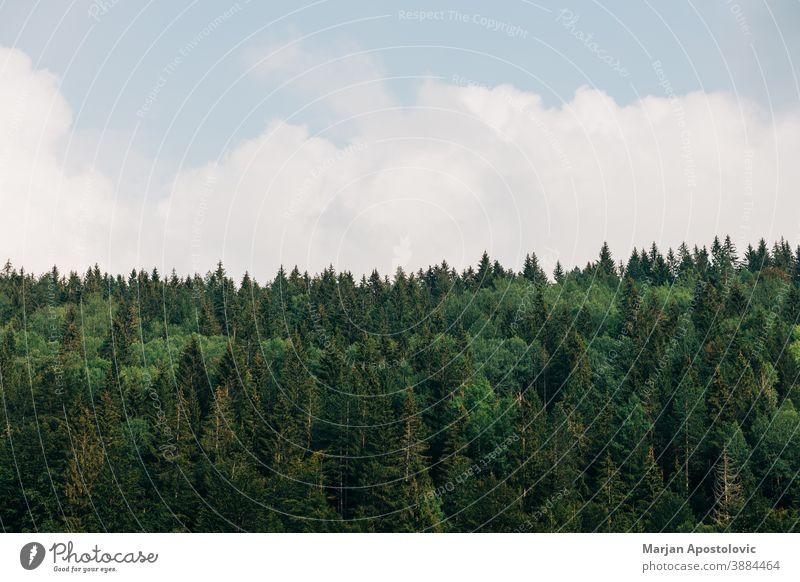 Blick auf einen Kiefernwald an einem sonnigen Tag Abenteuer Hintergrund schön blau hell Windstille Cloud Tageslicht Ökologie Ökosystem Umwelt Immergrün erkunden