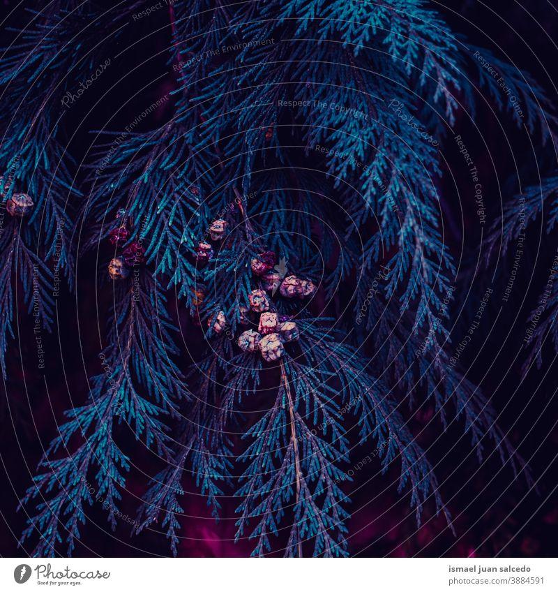 Blaue Kiefernblätter in der Wintersaison Pinie Niederlassungen Blätter Blatt blau Natur natürlich Laubwerk texturiert im Freien Hintergrund Schönheit