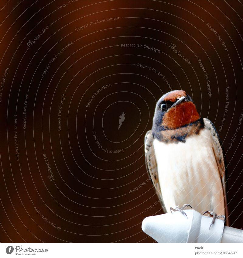 unter Beobachtung Schwalben Vogel sitzen Gefieder gefiedert braun Natur Tier beobachten weiß
