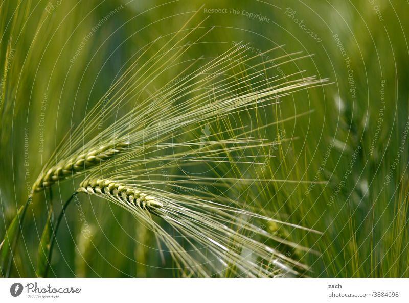 Ähre, wem Ähre gebührt Weizen Getreide Feld Gerste Ähren Kornfeld Ernährung Landwirtschaft Natur Ackerbau Getreidefeld Nutzpflanze Pflanze Weizenfeld
