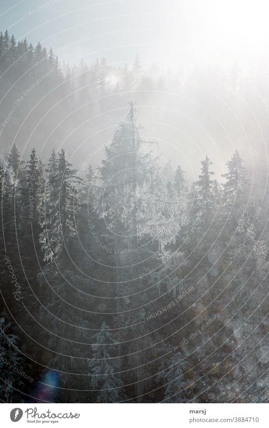Winterliche Fichten und Lärchen im Gegenlicht Bäume Wald winterlich Frost Winterzauber kalt weiß gefroren Schnee Raureif Natur Nebel Fichtenwald Jahreszeiten
