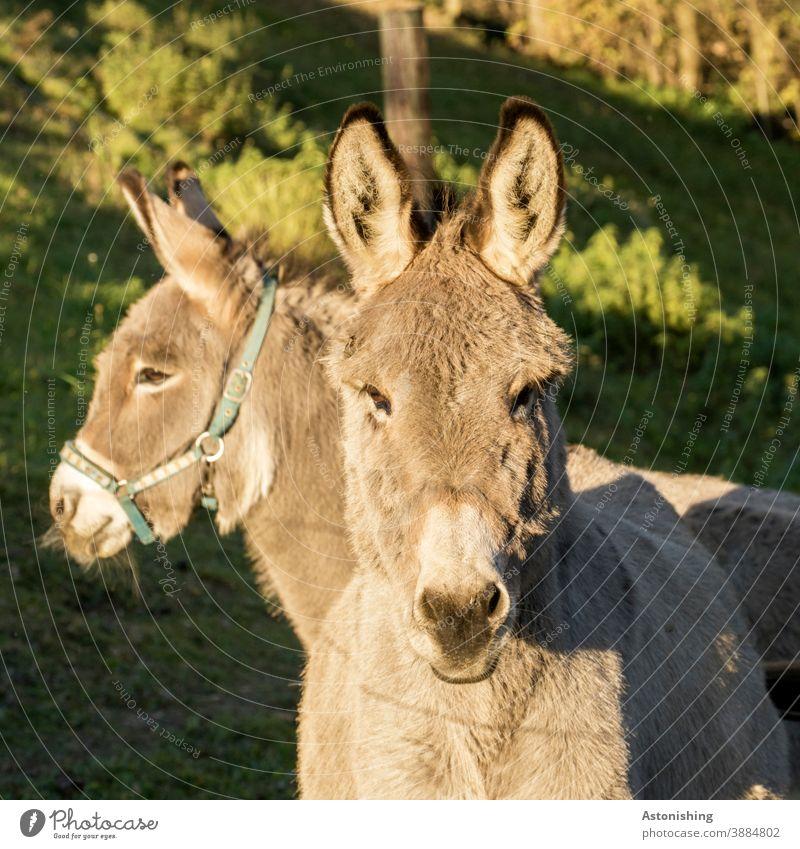 zwei Esel 2 Tier Tiere Paar Fell Kopf Ohren Augen Eselsohr schauen Blick Nutztier Lasttier Natur Maul Außenaufnahme braun Menschenleer Tiergesicht niedlich