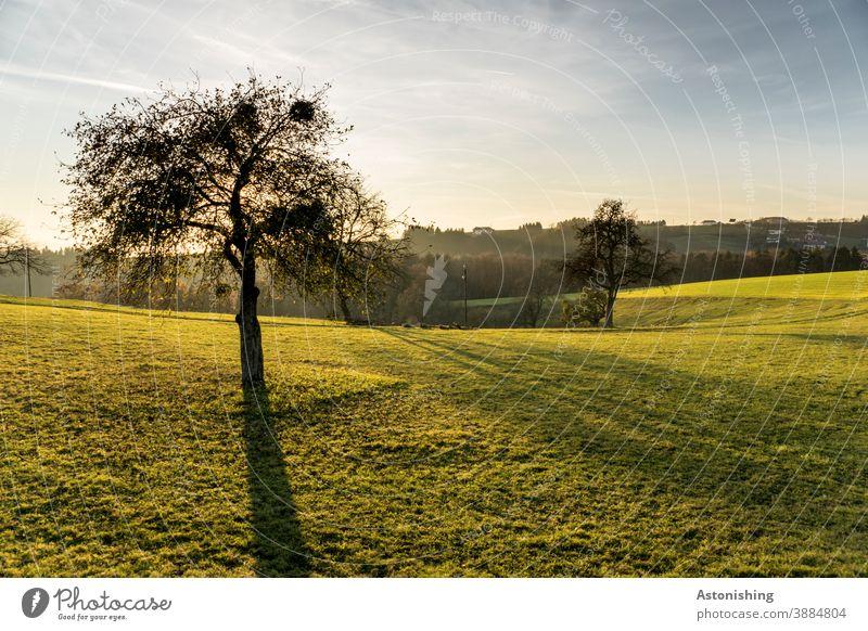 Baum im Abendlicht Natur Landschaft Licht Schatten Kontrast Rasen Wiese Misteln Baumstamm Himmel Horizont Hügel Mühlviertel gelb grün blau Wolken Herbst Wetter