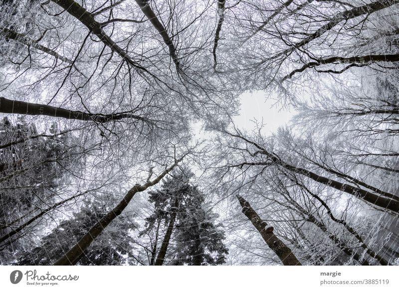 Blick in verschneite Baumkronen Schnee kalt Winter Ast Eis Himmel riesig Frost Natur Außenaufnahme Menschenleer weiß Umwelt Zweig Raureif himmelwärts Wald