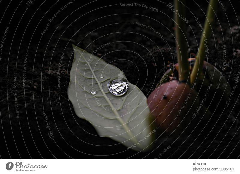 Tropfen auf ein Blatt Avocado Avocadopflanze Wasser Wassertropfen Tröpfchen grün Reflexion & Spiegelung Nahaufnahme Natur Makroaufnahme Tau Avocado-Pflanze