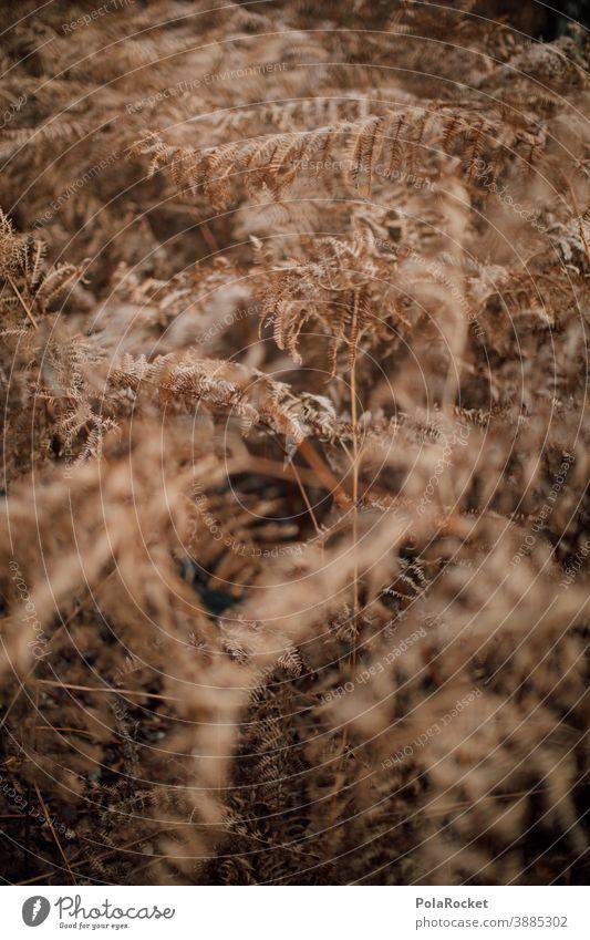 #A0# Farn im Herbst Farnblatt Farne Farnblätter farnwuchs farntrieb Farnstengel Farnzweig Natur herbstlich Herbstbeginn Waldboden Boden trocken vertrocknet
