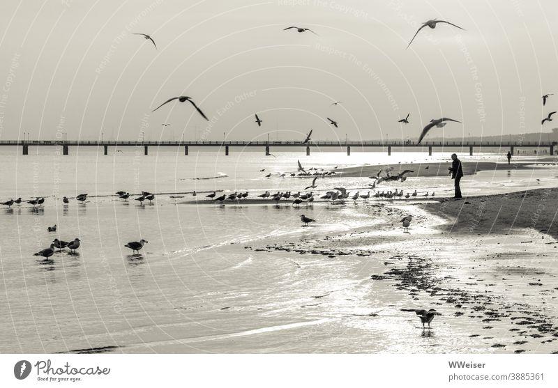 Die Möwen haben schnell entdeckt, wo es für sie Frühstück gibt Ostsee Licht Morgen früh Strand Mensch füttern Vögel Sand Wasser Wellen Brücke Seebrücke Steg