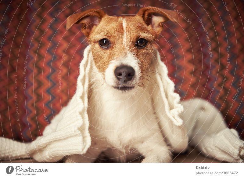 Jack-Russell-Terrier-Hund unter Wollpullover warm halten. Konzept der Haustierpflege Winter kalt gemütlich jack russell heimwärts Stimmung niedlich Pullover