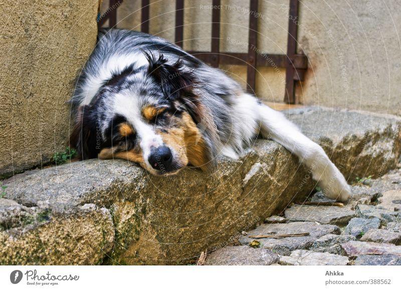 Shepherd in passender Umgebung beim Mittagsschlaf Hund Sommer Erholung ruhig Tier Umwelt Senior träumen Stimmung braun Idylle Zufriedenheit authentisch schlafen