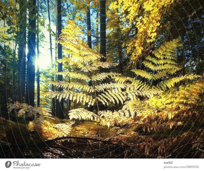 Farnfächer Wald Sträucher Waldlichtung Echte Farne Pflanze Wachstum Schönes Wetter Waldrand Baum Idylle ruhig Außenaufnahme Farbfoto Strukturen & Formen