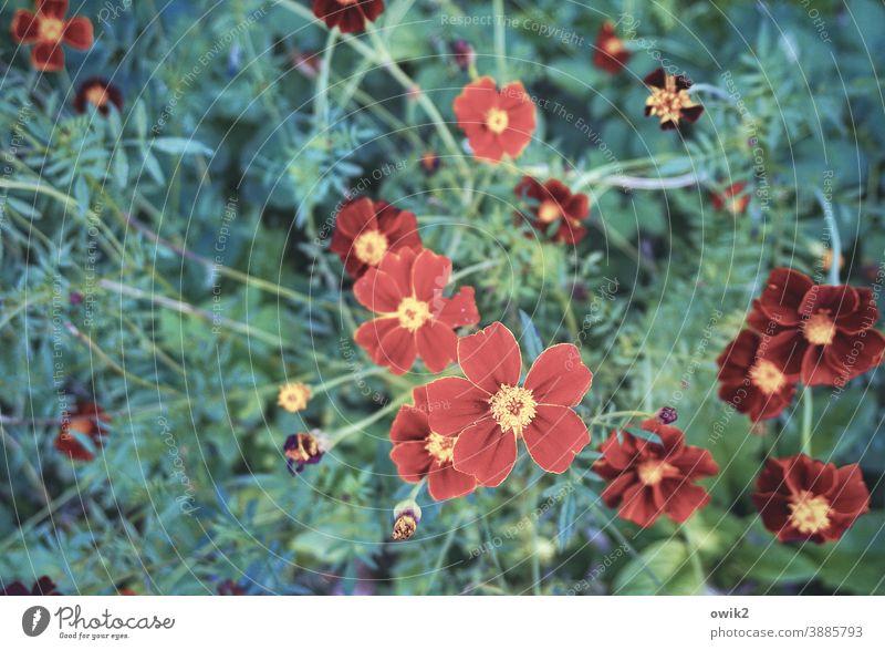Tagetes Studentenblumen klein rot nah schön blühend Blüten Blumen Natur Außenaufnahme Textfreiraum links Schwache Tiefenschärfe Kontrast Pflanze Blühend