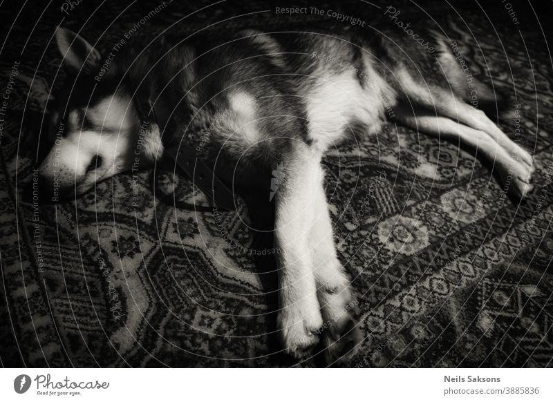 Sibirischer Husky schläft auf Teppich Schwarz-Weiß-Bild bezaubernd Alaska Tier Baby Hintergrund Biest schön Bett schwarz blau züchten Eckzahn Nahaufnahme