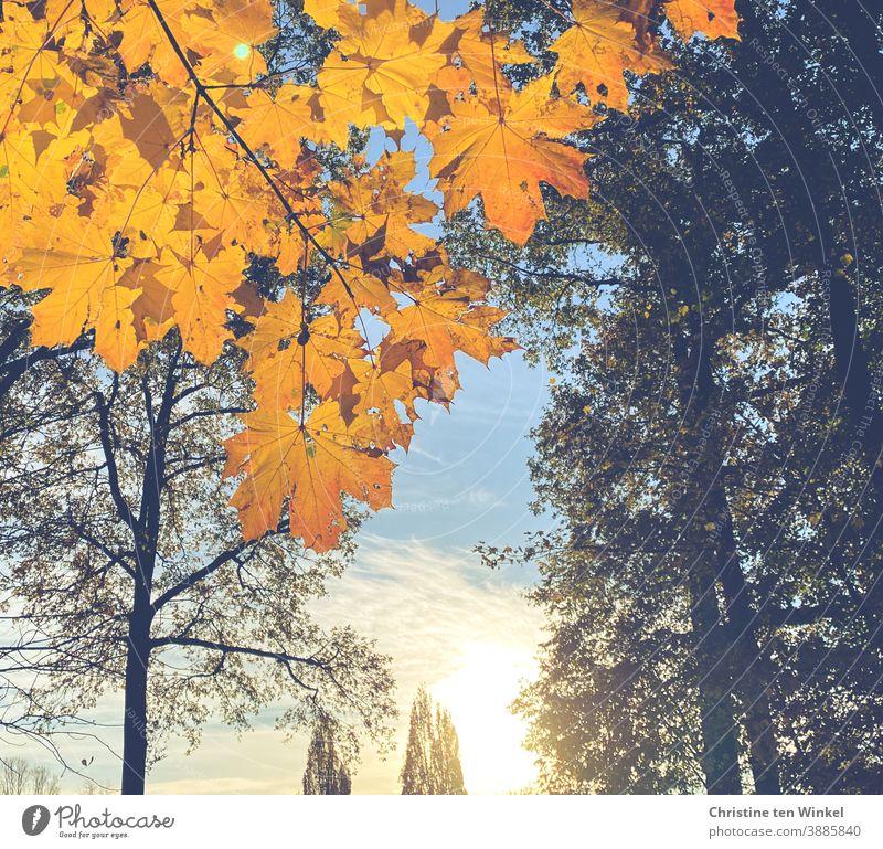 Goldene Ahornblätter im Gegenlicht der tiefstehenden Morgensonne. Im Hintergrund Bäume, Wolken und blauer Himmel goldgelb Herbst Natur Sonnenlicht Blatt Baum