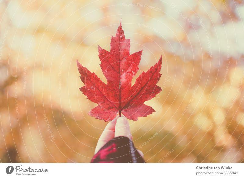 Hand hält rotes herbstliches Ahornblatt hoch...  Hintergrund mit gesprenkeltem Sonnenlicht und Bokeh Blatt hochhalten zeigen Herbst gesprenkeltes Licht leuchten