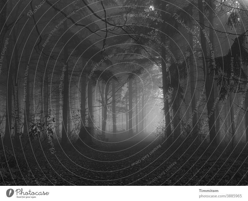 Novemberwald mit Nebel und einigen Sonnenstrahlen Wald Dunkel Licht Herbst Winter kalt Weg düster Stimmung Natur dunkel Baum Einsamkeit Schwarzweißfoto