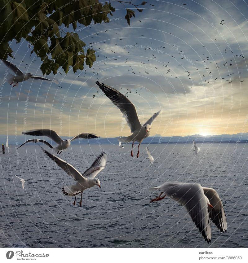 Unter Geiern | Möwen am Bodensee geiern nach meiner Laugenbrezel (nicht im Bild) Deutschland Meersburg fliegen beobachten betteln Wasser Blätter Vögel dunkel