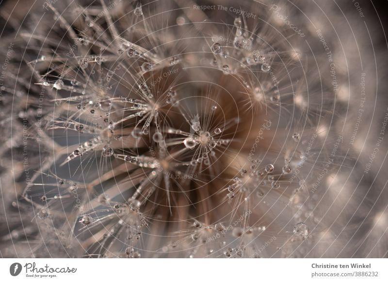 Pusteblume mit glitzernden Tautröpfchen ... Makroaufnahme Löwenzahn Taraxacum Pflanze Natur Detailaufnahme Blume Löwenzahnsamen Schwache Tiefenschärfe