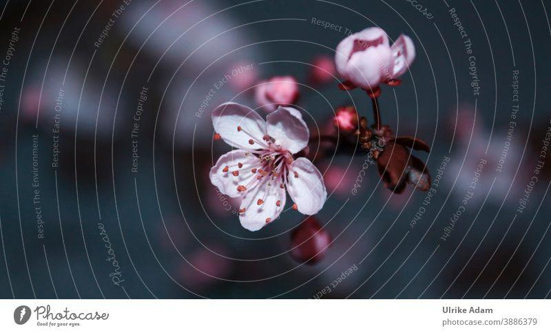 Blütenzauber - Frühlingserwachen mit zarten Blüten Kirschblüten Blumen Zart Weich Isoliert Pflanze Natur Nahaufnahme Makroaufnahme Blühend Detailaufnahme