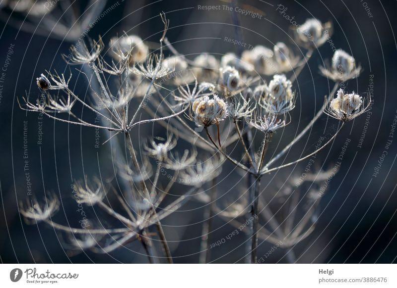 frostige Vergänglichkeit - Raureif an vertrockneten Blütendolden im Sonnenlicht mit dunklem Hintergrund Pflanze Kälte Frost verblüht Eiskristalle Licht Schatten