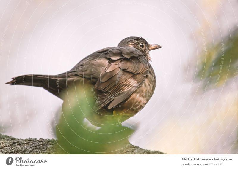 Amsel im Abendlicht Turdus merula Tierporträt Tiergesicht Kopf Schnabel Auge Feder Flügel Vogel Wildtier Natur Sonnenlicht Baum Nahaufnahme gefiedert beobachten