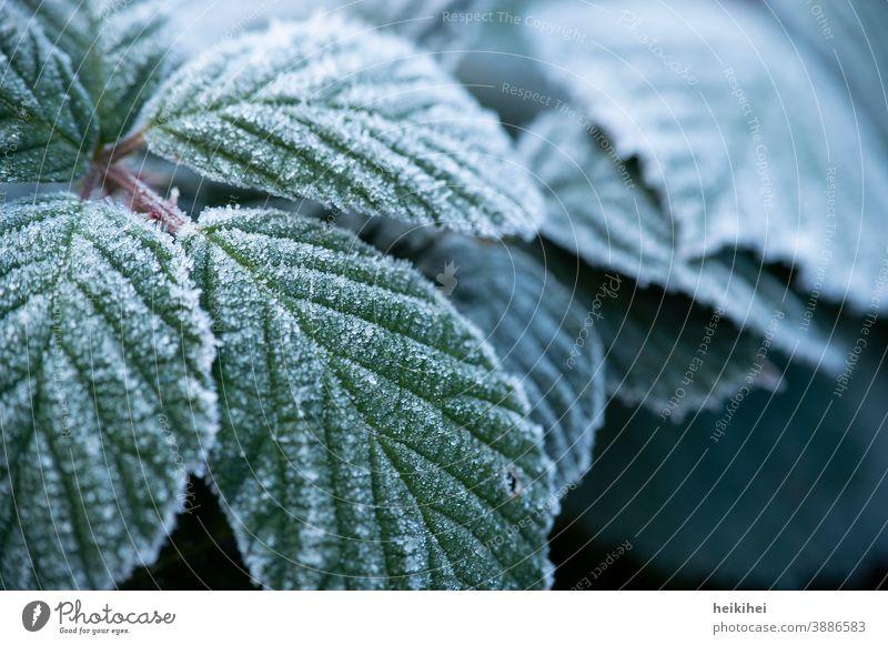 Mit Frost / Eis überzogene Blätter Blatt grün Pflanze gefroren Eiskristall Nahaufnahme Winter Schnee frieren kalt Raureif weiß Natur Außenaufnahme Makroaufnahme