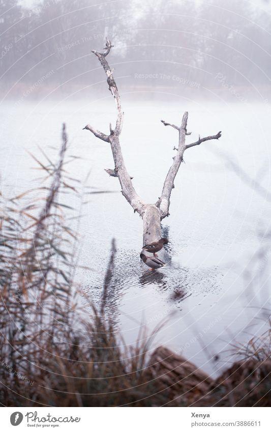 Enten im Nebel am See Winter Baumstamm Spaziergang Natur Wasser Außenaufnahme kalt Landschaft Menschenleer Frost Seeufer Umwelt ruhig Gedeckte Farben