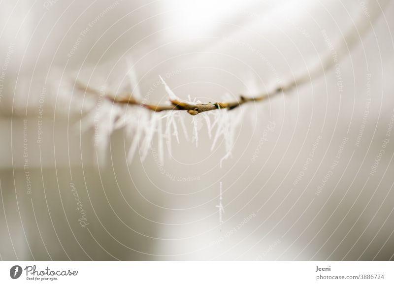 Vereister Zweig Zweige u. Äste Eis Frost frostig Eiskristall Eiskristalle Winter kalt Außenaufnahme Natur Schnee Pflanze Raureif weiß gefroren Ast Sträucher