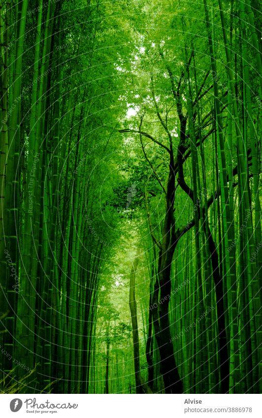 grüner Bambuspfad Weg Natur Wald Hintergrund Japan Asien Japanisch Wahrzeichen Kyoto Baum natürlich Garten Holz Zen Pflanze Umwelt Wachstum asiatisch Blatt Hain