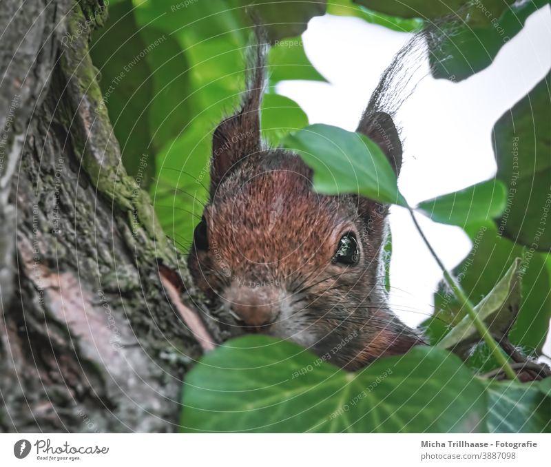 Versteckter Beobachter im Baum Eichhörnchen Sciurus vulgaris Tiergesicht Kopf Auge Nase Ohr Maul Fell Nagetiere Wildtier Natur Blatt Neugier beobachten Blick