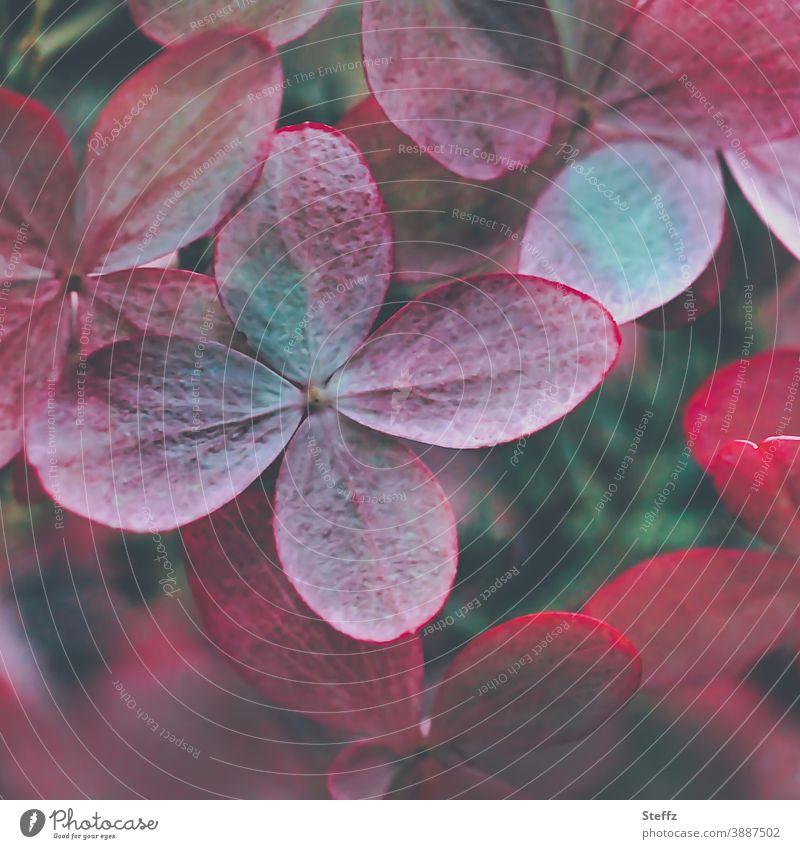 Hortensienblüte im Herbstgarten rosarot verblichen fahl Oktober Herbstbeginn vergänglich Vergänglichkeit Hydrangea nah blühende Hortensie Blüte Blütenblätter