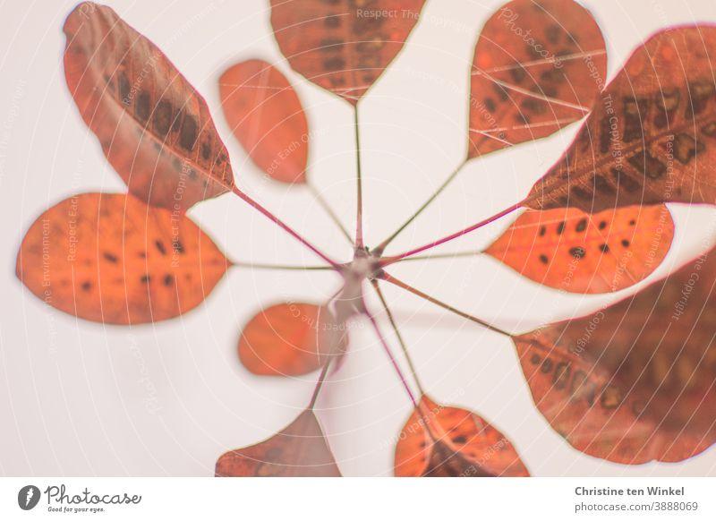 Symmetrisch angeordnete orangefarbene Herbstblätter des roten Perückenstrauchs. Aufnahme aus der Froschperspektive gegen den weißem Himmel Herbstlaub