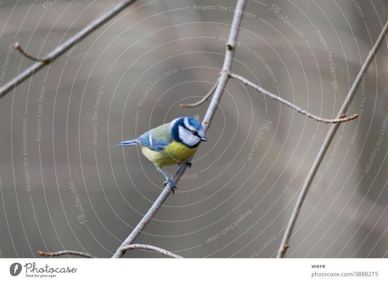 Blaumeise auf einem Zweig Kohlmeise Cyanistes caeruleus Parus Ater parus major Periparus Ater Wintervogel Tier Vogel Vogelfütterung Zweigstelle Niederlassungen