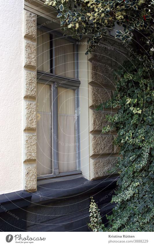 efeu und fenster holzfenster haus gebäude fassade gardine grünpflanze kletterpflanze idyllisch wachsen wuchern schattig architektur detail ausschnitt außen