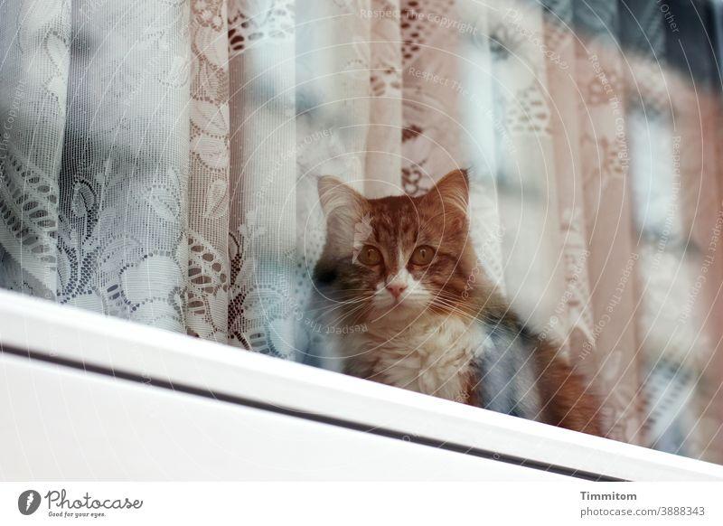 Katze schaut nach draußen und wartet Fenster Fensterscheibe Glas Vorhang Gardine schauen warten traurig Menschenleer Tier Tiergesicht Reflexion & Spiegelung