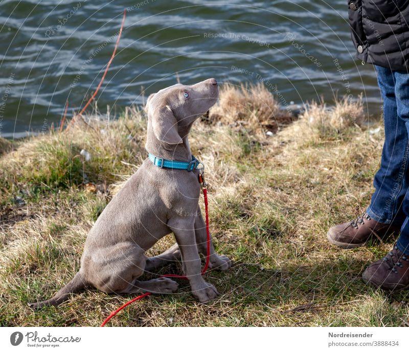 Weimaraner Welpe am See blickt aufmerksam nach oben weimaraner welpe hund haustier braun hübsch jagdhund portrait reinrassig sprache gras jung freudig säugetier