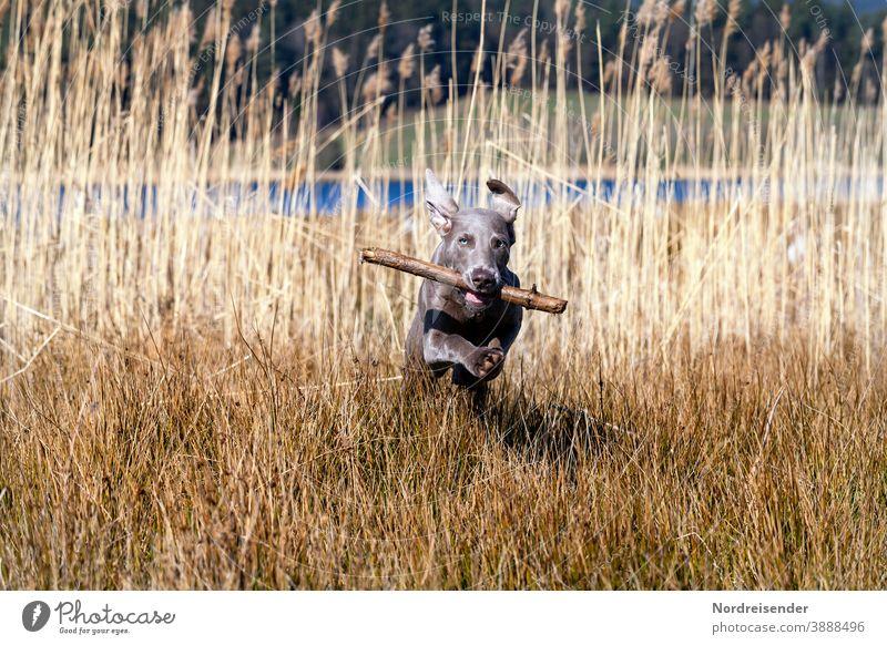 Weimaraner Welpe mit Stöckchen tobt und spielt im hohen Gras weimaraner welpe hund haustier junghund wasser hübsch jagdhund portrait reinrassig wald gras