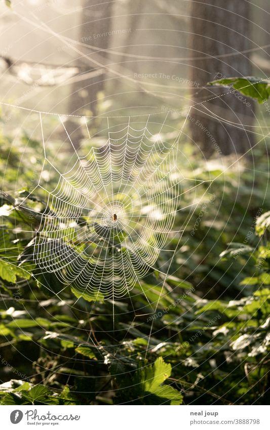 Spinnennetz im Wald bei Morgenlicht Natur Umwelt Tier Kreuzspinne Struktur filigran Falle warten Strategie Blätter Tautropfen Frische grün Gegenlicht nah Detail