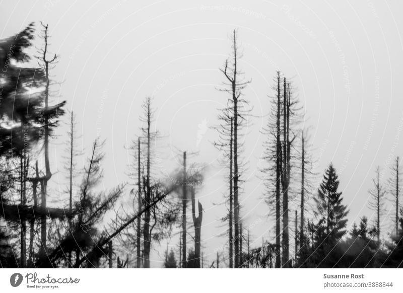 Stürzender Baum zwischen abgestorbenen Bäumen Wald Natur Klimawandel Umwelt Waldsterben Baumstamm Landschaft stürzender Baum Holz kahl Fichte Fichtenwald