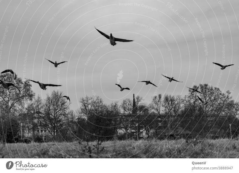 Wildgänse am Elbufer in Dresden ziehen Wanderzug Herbst Winter November Schwarzweißfoto Wildgans Elbe Natur Stadtleben Gans Gänse fliegen Tier Wildtier Vogel