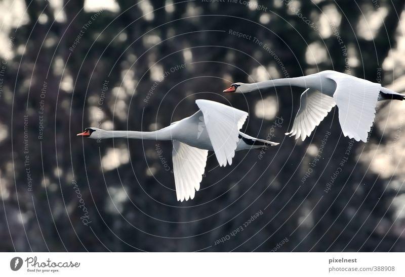 Weiße Anmut Natur Tier Wasser Wassertropfen Wildtier Vogel Schwan Höckerschwan 2 fliegen ästhetisch frei oben schön weiß Kraft Freiheit Umweltschutz spritzen