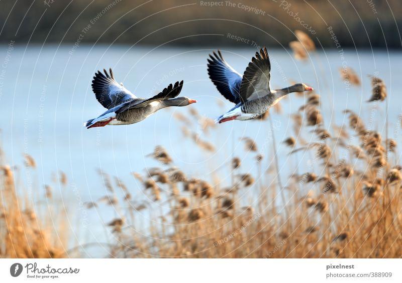 Wildgänse im Flug Sonne Winter Natur Tier Wasser Wärme Gras Schilfrohr Seeufer Teich Wildtier Vogel Graugans Wildgans 2 fliegen frei natürlich Freiheit