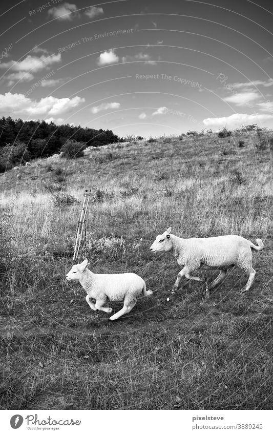 Zwei rennende Schafe Tier Tiergruppe tiere Schafswolle Gras Wolle Landwirtschaft Landschaft Fell Weide Bauernhof Tierporträt Wiese Nutztier Schafe scheren Herde