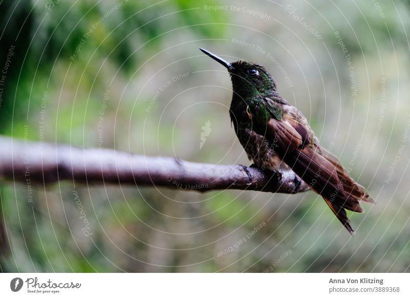 Kolibri auf einem Ast Tier Farbfoto Vogel Flügel Außenaufnahme Tierporträt Wildtier Natur Nahaufnahme fliegen Schnabel Menschenleer Freiheit schön Feder