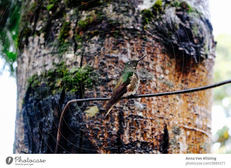 Kolibri Kolibris Vogel Tier Natur grün Tierporträt Außenaufnahme Wildtier Flügel Schnabel Menschenleer fliegen schön natürlich Tag Farbfoto Freiheit exotisch