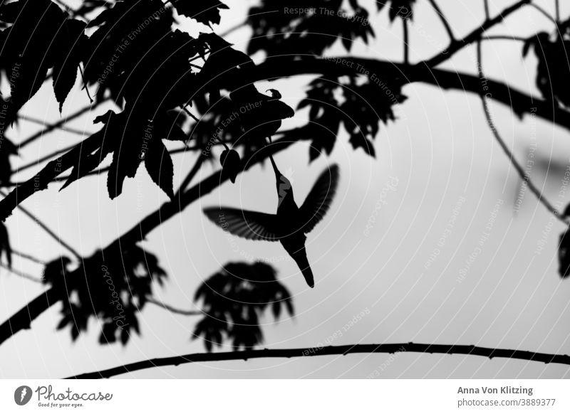 Fliegender Kolibri fliegend Schwarzweißfoto Vogel Außenaufnahme Wildtier Natur Tier Menschenleer Himmel Baum Äste Freiheit Flügel Schnabel Licht Tag natürlich