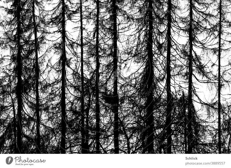 Toter abgestorbener Lärchenwald als Fotografik Bäume tot Schwarzweiß hohe kontraste Wald Natur Umwelt Klimawandel Baum Landschaft Außenaufnahme Menschenleer